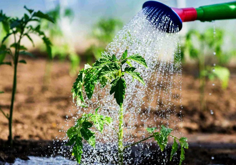 Реанимация огородного растения