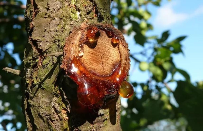 Камедетечение на деревьях