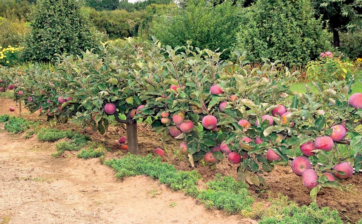 Сохранения яблони в дождливое лето