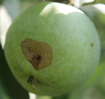Опробкование яблока